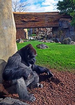 gorila--feb-2016-bioparc.jpg